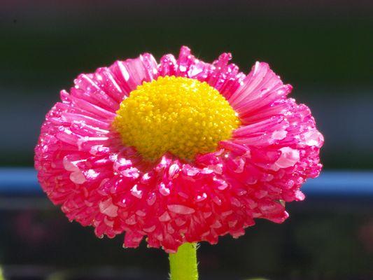 Pinkes Gänseblümchen :D