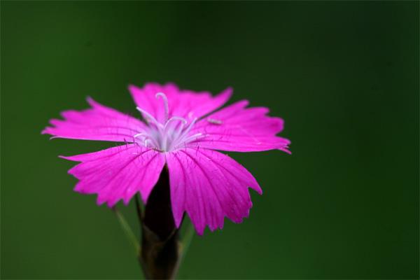 Pinkes winzigkleines Blütchen - Heide Nelke