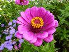 Pinkfarbene Blüte mit gelbem Blütenkranz