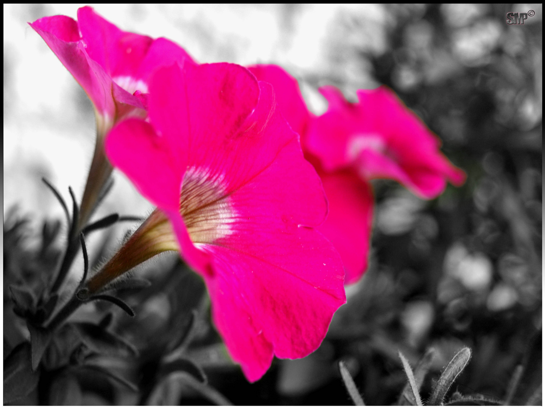 Pinkpimp