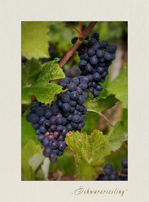 Pinot meunier - Schwarzriesling from Neckar valley/ Hessigheim...