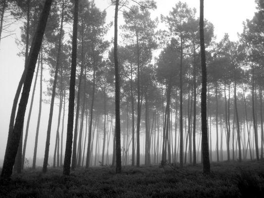 pins des landes