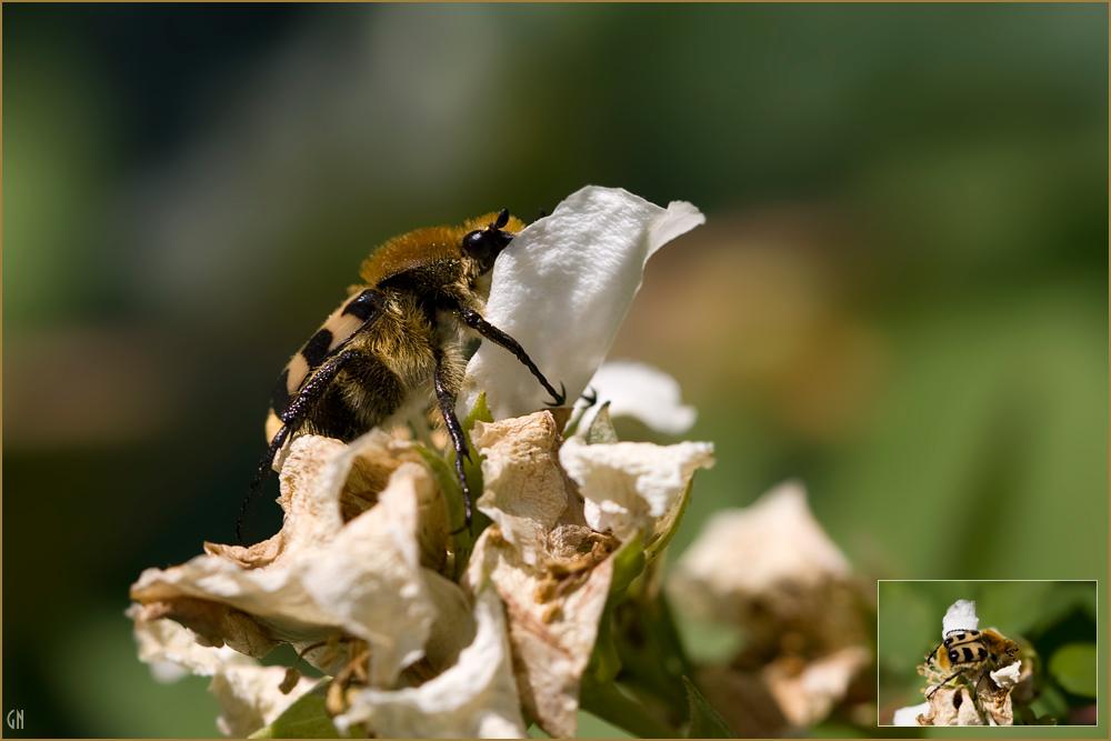 Pinselkäfer (Trichius fasciatus)