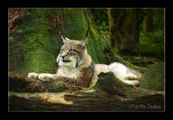Pinselohr - Katze ( Luchs )