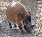 Pinselohr Schwein