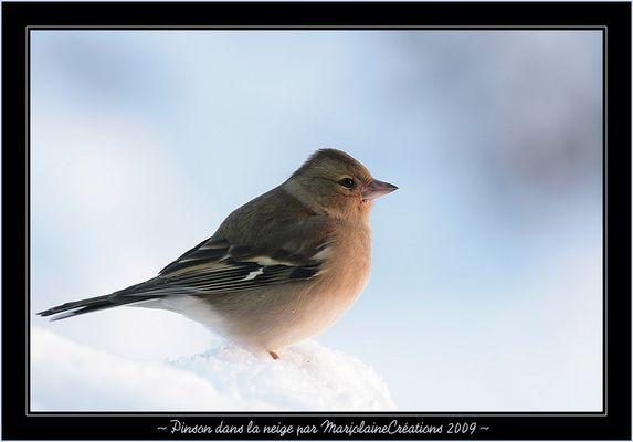 ~ Pinson dans la neige ~