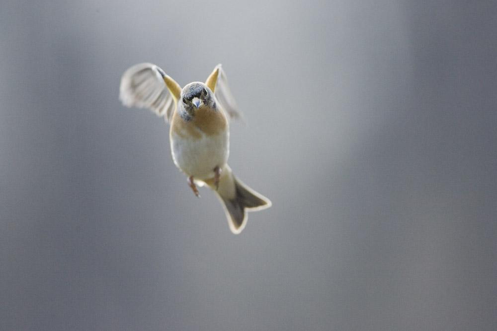 Pinson en vol 4