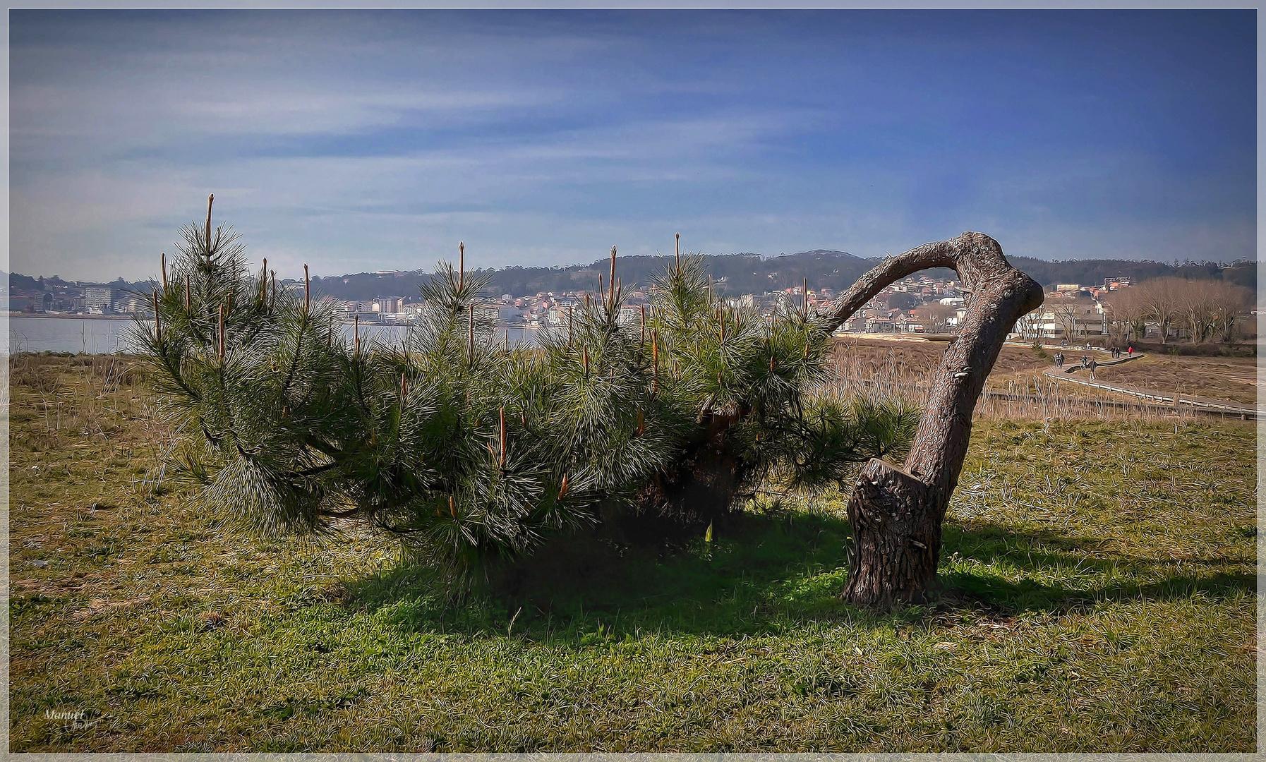 Pinus rastrerus