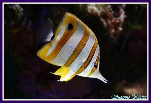 Pinzettenfisch
