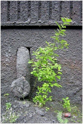 Pionierpflanze