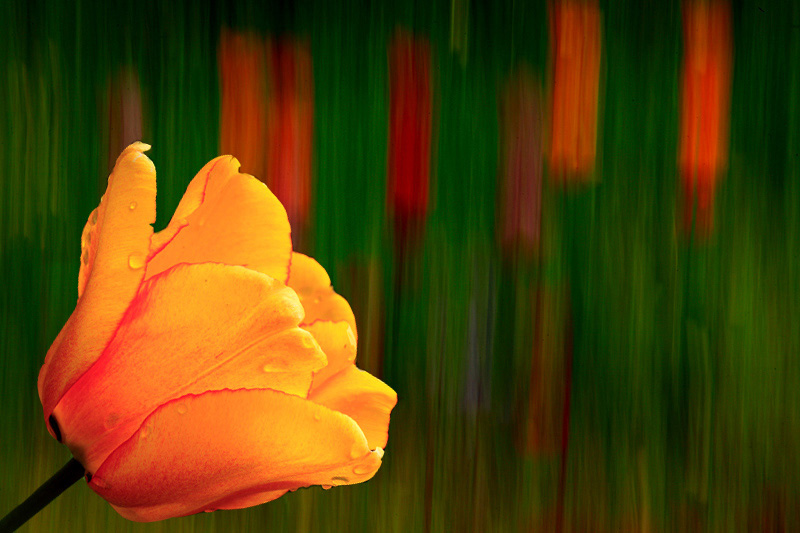 Piove sui tulipani