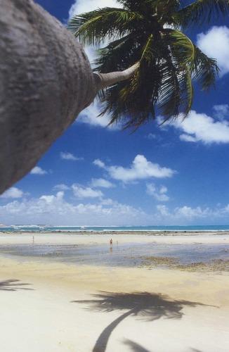 Pipa (Brasil) : Coqueiro na praia