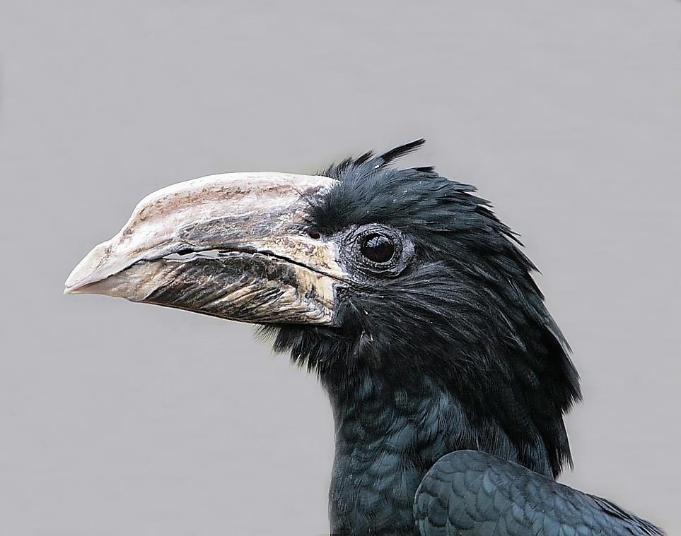 Piping-Hornvogel