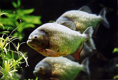 Piranha - Aquarienhaus im Kölner Zoo