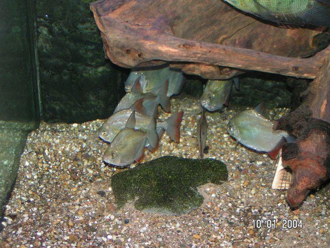 Piranhas im aquarium