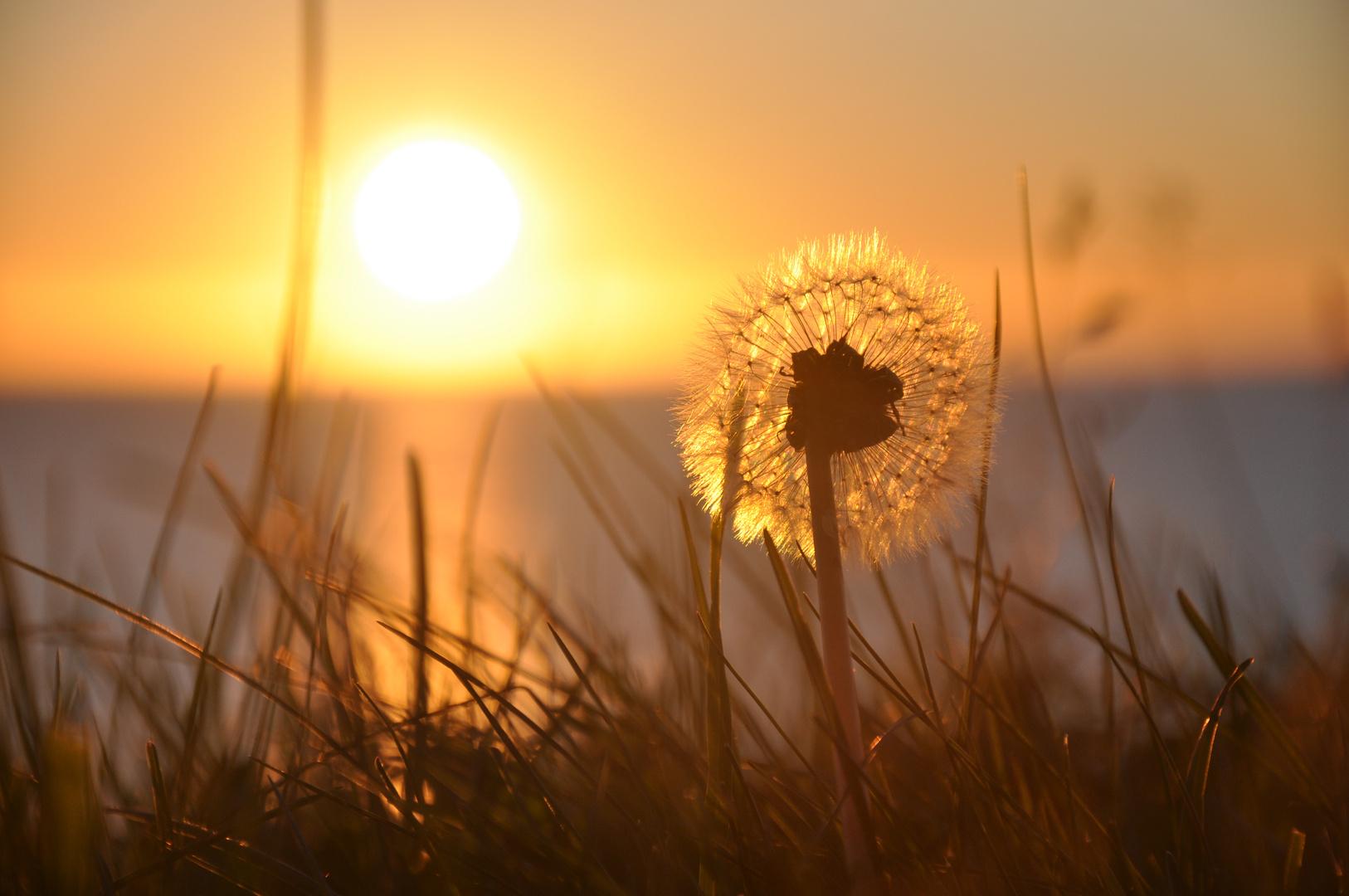 Pissenlit se mirant au soleil