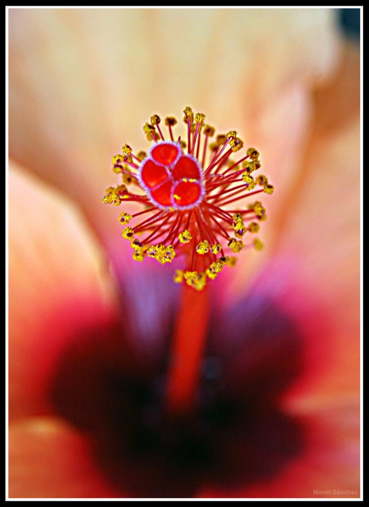 Pistilos de Ibiscus
