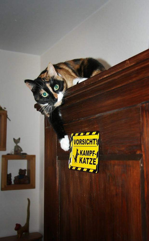 Pitbull-Katze