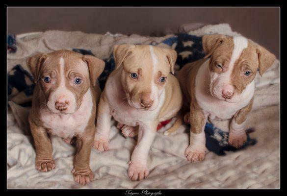 Pitbulls Puppies