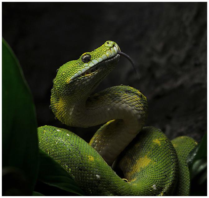 Pitón verde de India