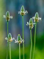 Plantago, modesta flor