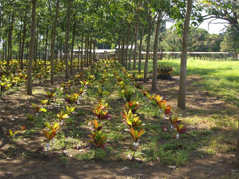 Plantas Ornamentales en Asocio con El Hule