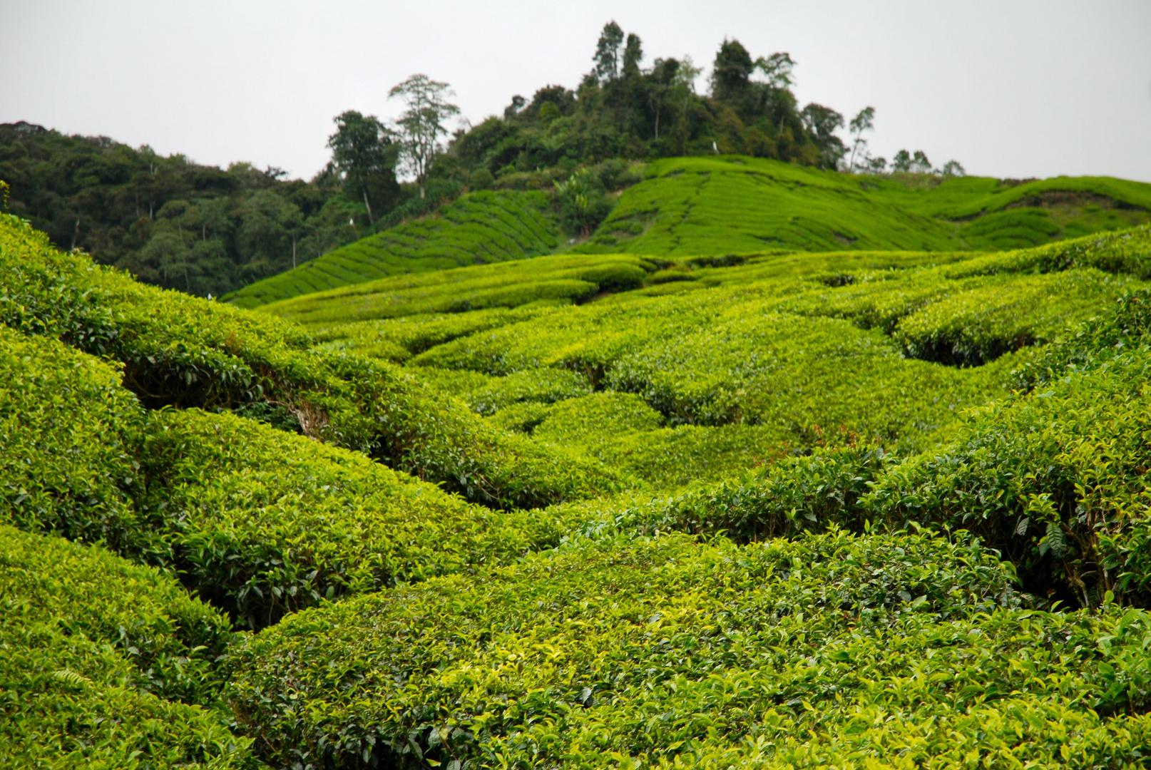 Plantations de thé, Malaysia