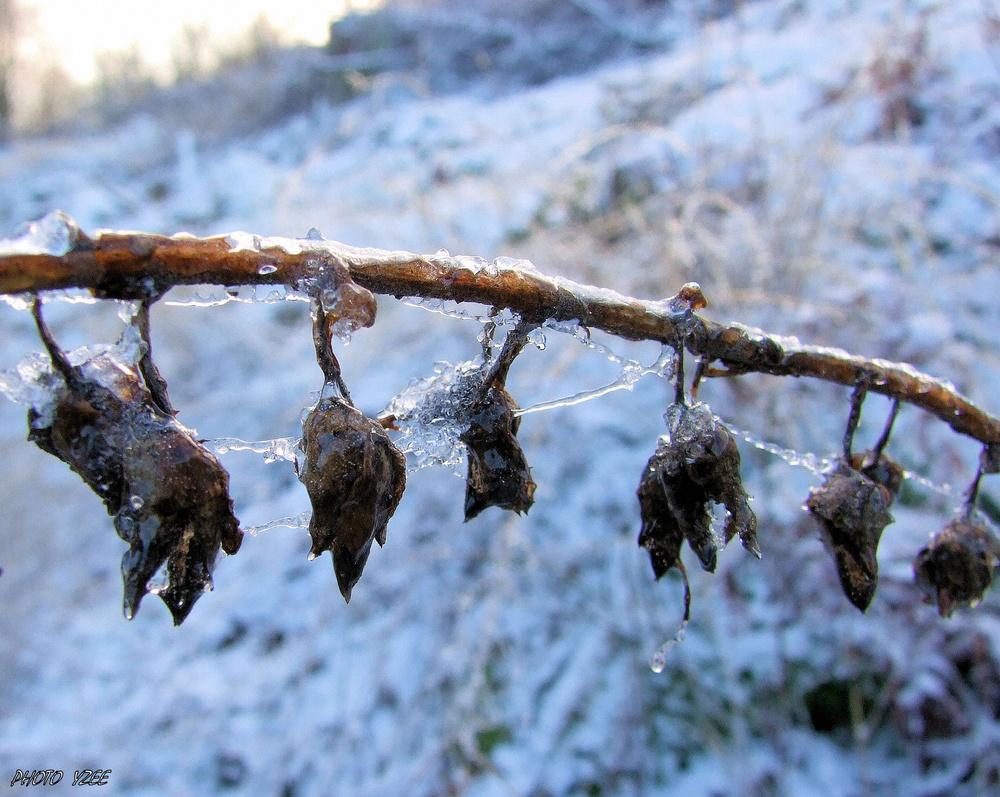 Plante et toile d'araignée recouvertent de glace