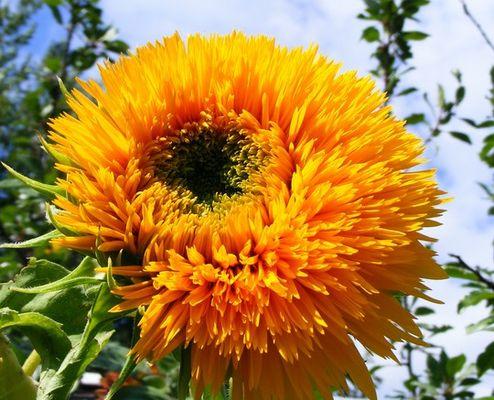 Plante soleil différente sortes au québec Canada