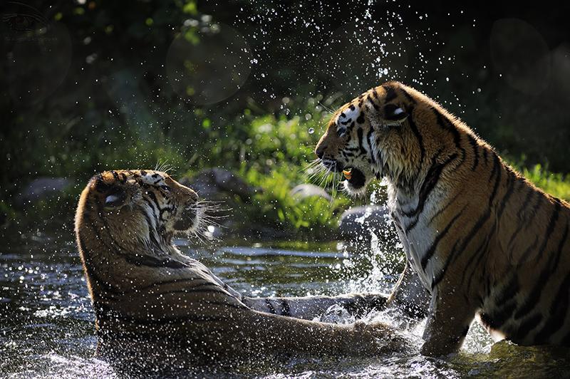 Plantschende Tiger