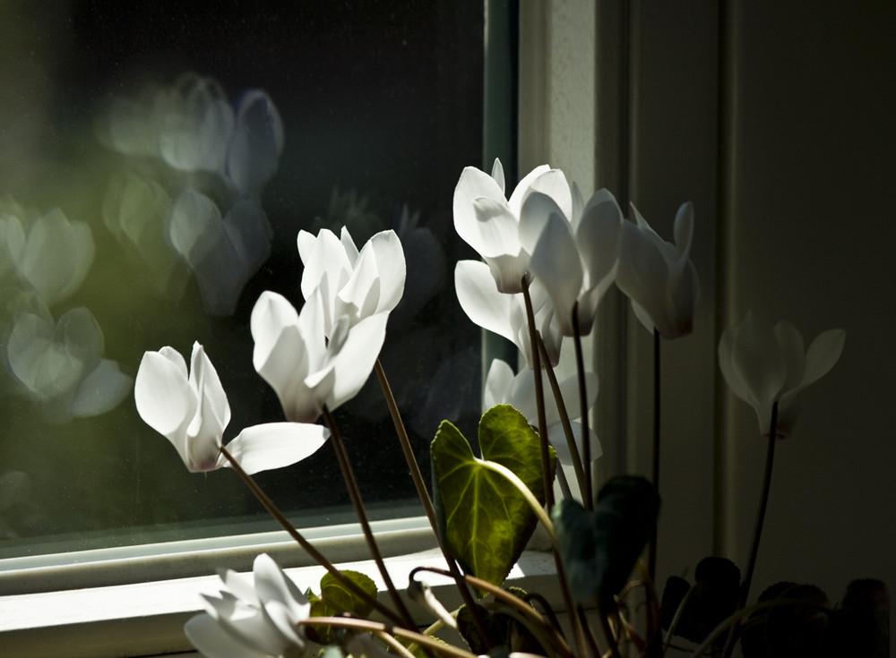 Planze mit Spiegelung im Fenster