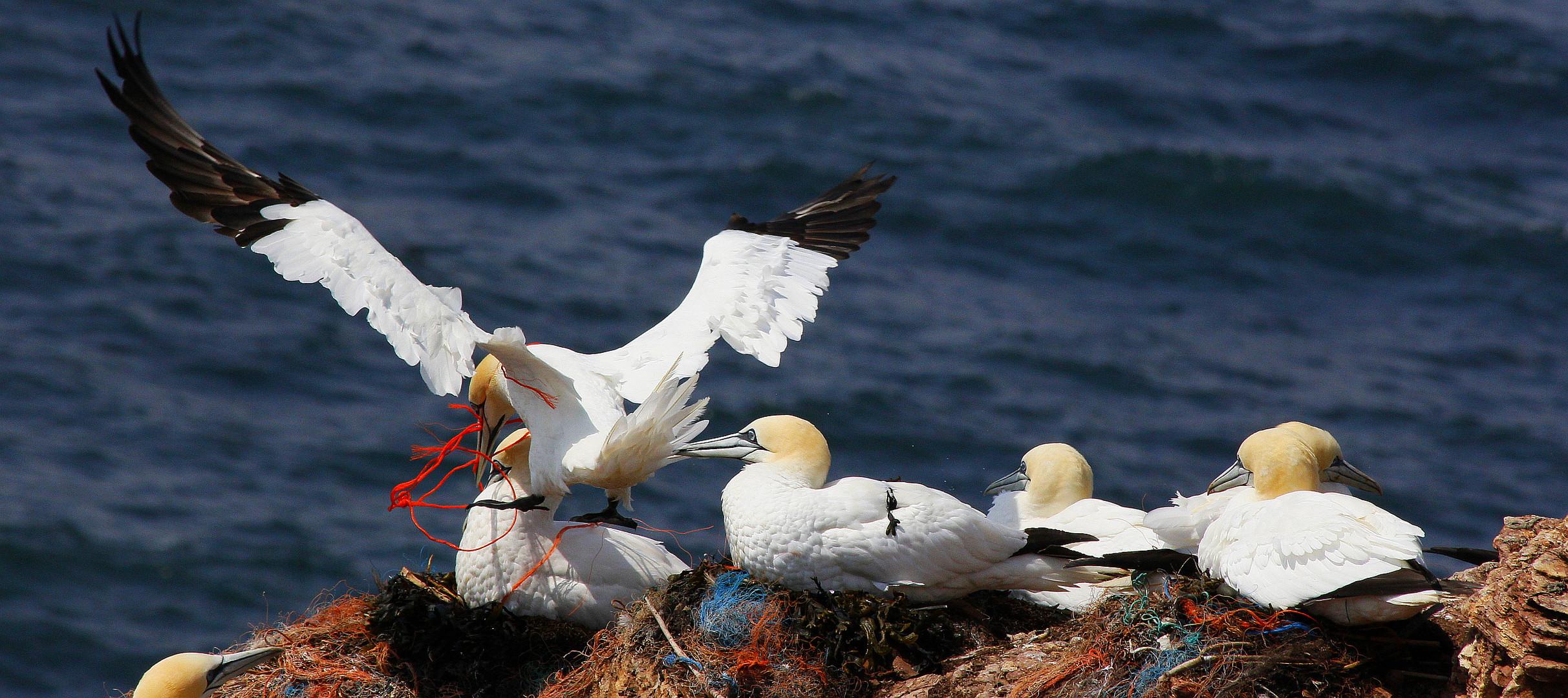 Plastiknester auf Helgoland