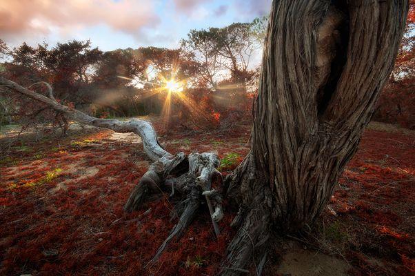 Platamona's tree
