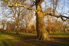 platane à Hyde Park, Londres