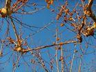 platane d'automne sous ciel de mistral