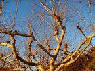 platane d'hiver sur ciel pur