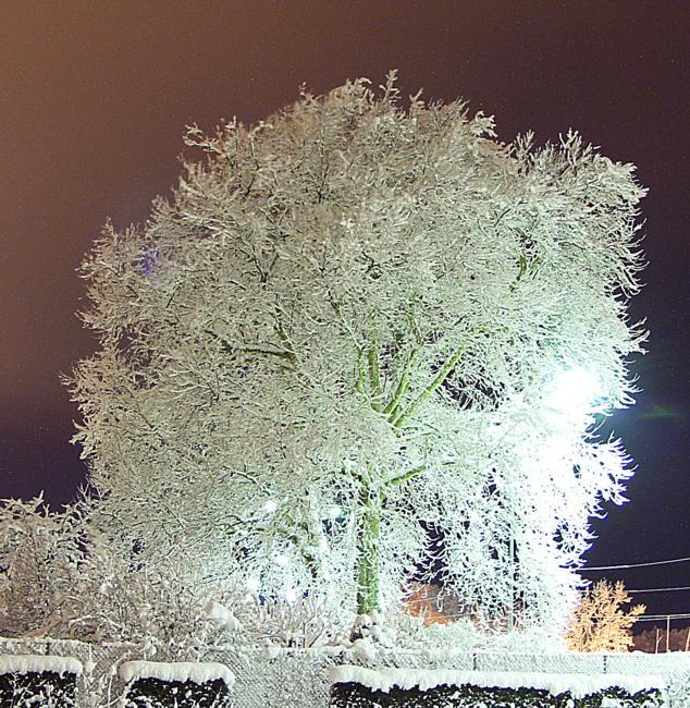 Platane im Winterkleid