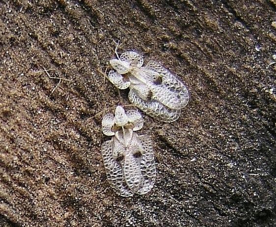 Platanen-Gitterwanzen (< 4 mm)