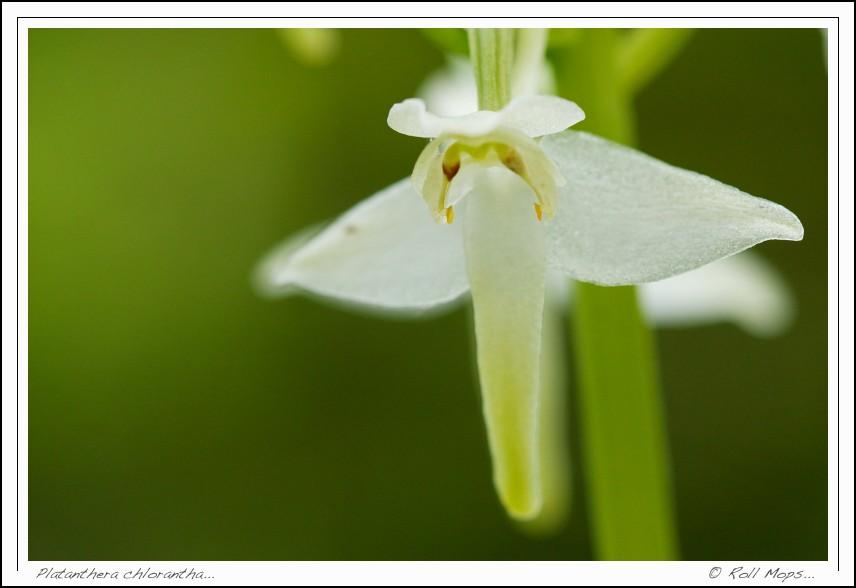 Platanthera chlorantha...