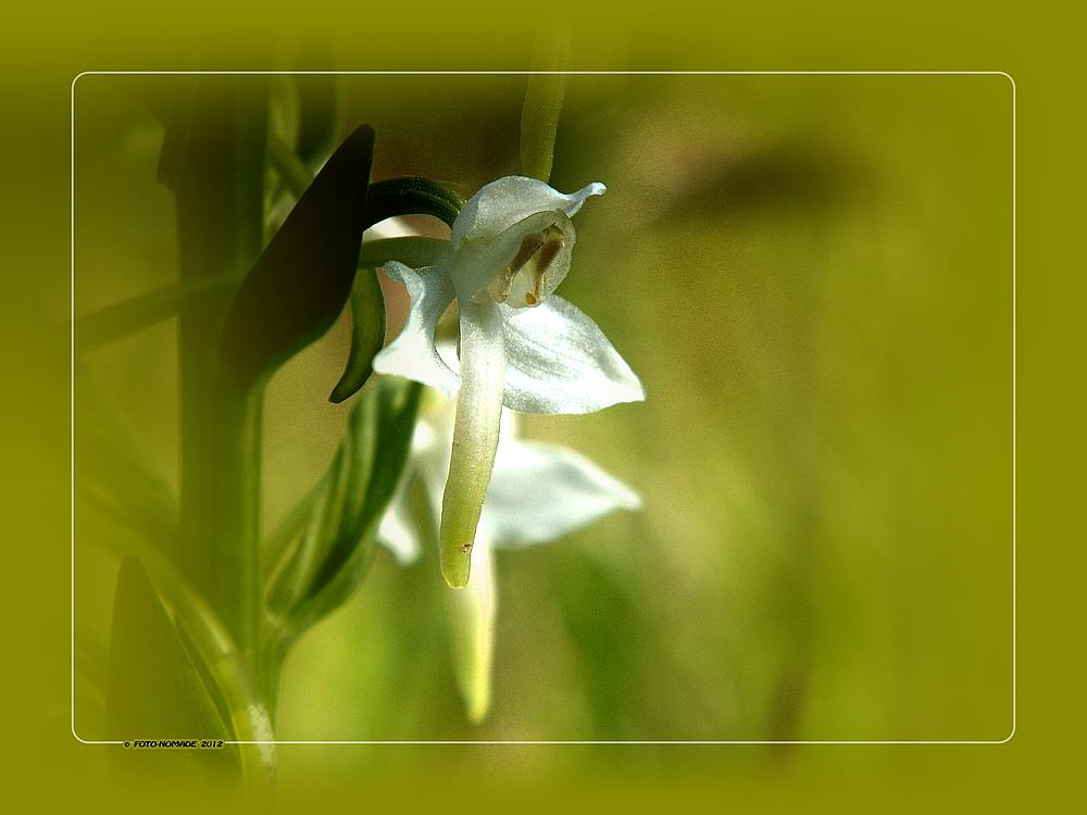 (Platanthera chlorantha)