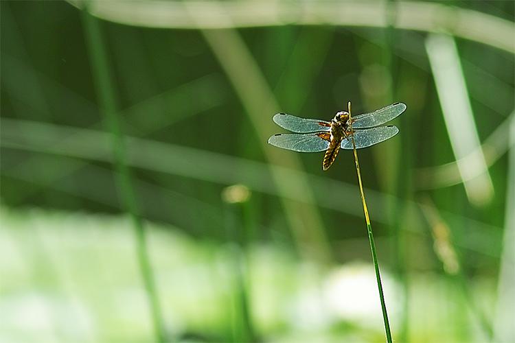 Plattbauch (-Libelle)