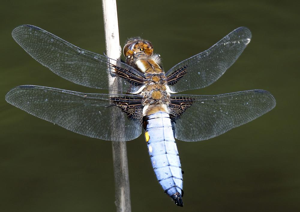 Plattbauch - Libelle (Libellula depressa)