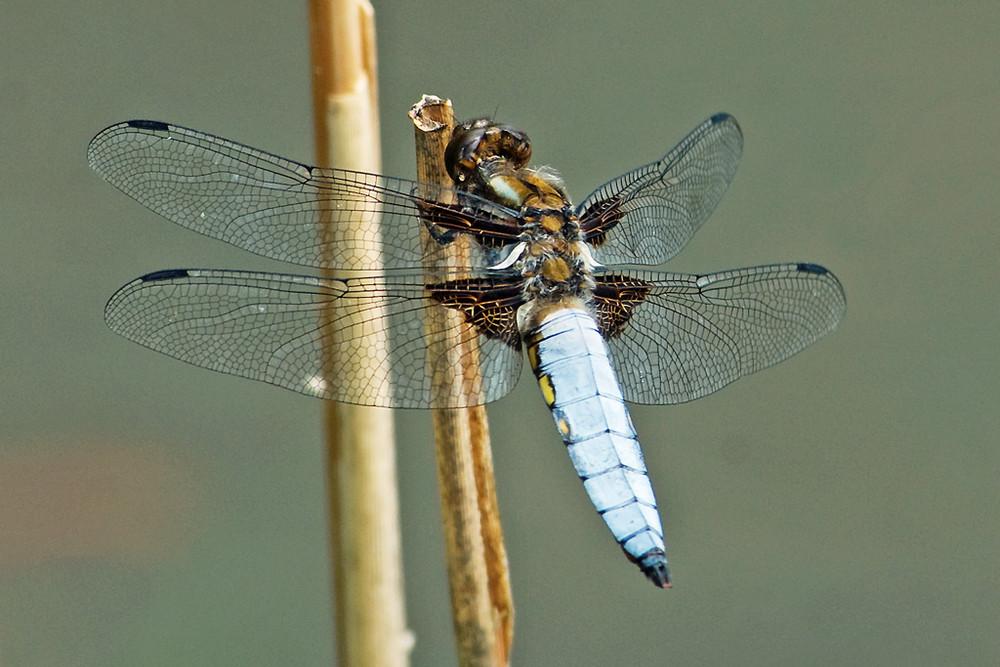 Plattbauch- Libelle Männchen