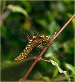 Plattbauch Libellen Weibchen.....!