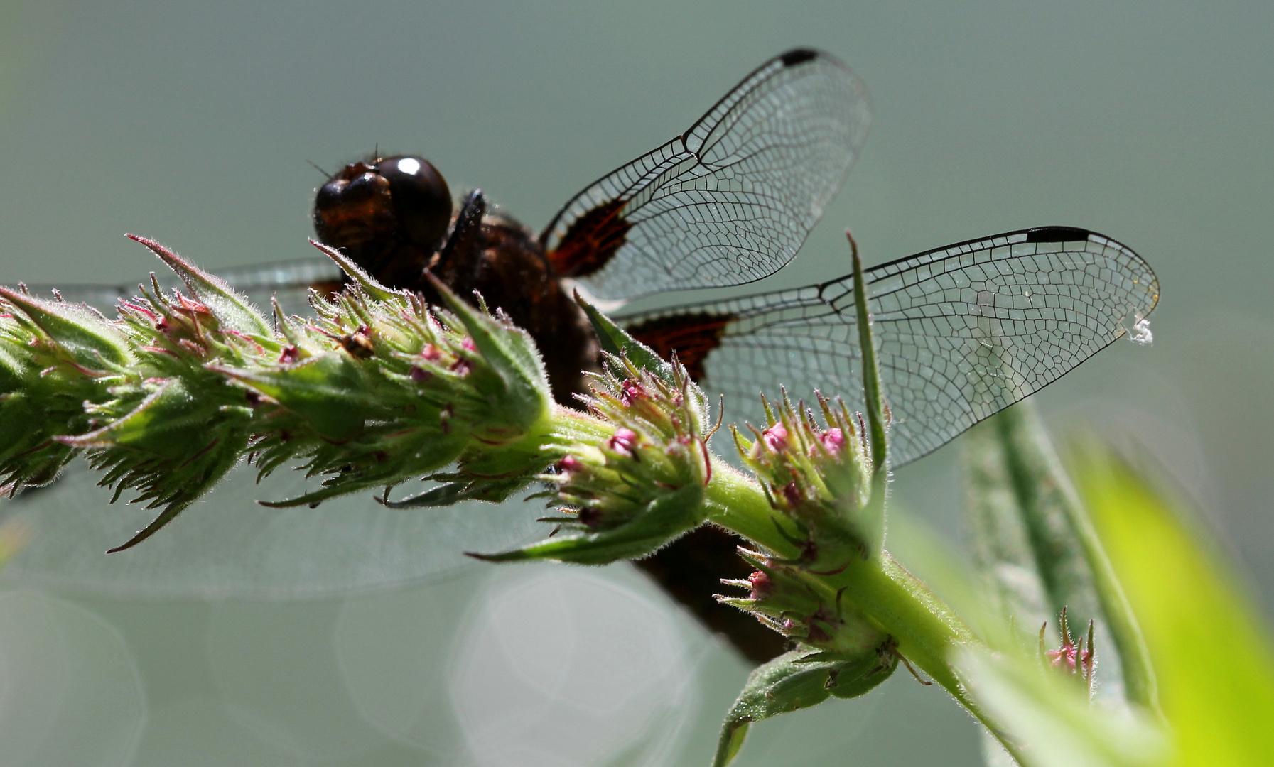 Plattbauch-Libellenmännchen (Libellula depressa)