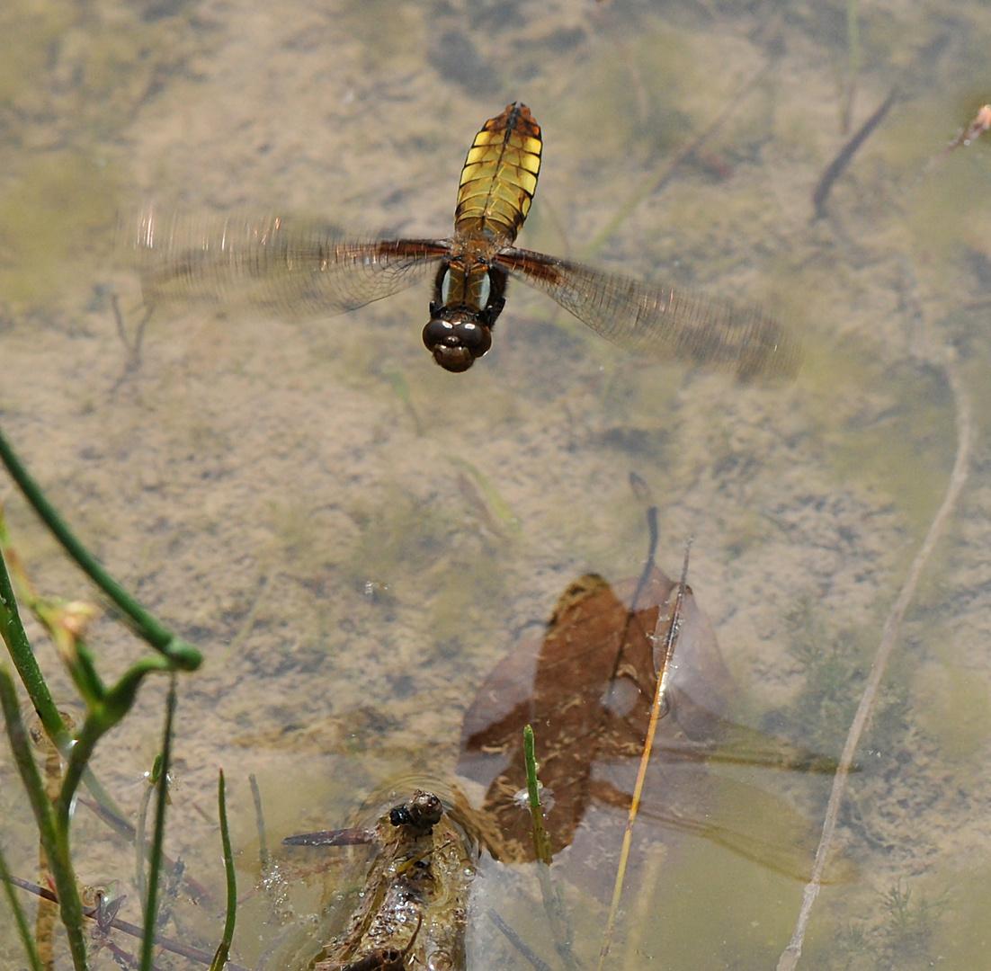 Plattbauch Weibchen im Anflug