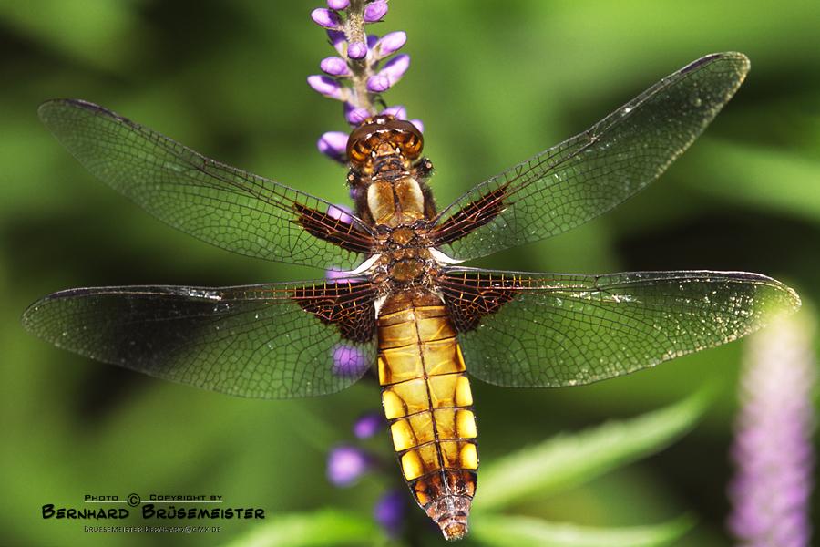 Plattbauch-Weibchen (Libellula depressa)