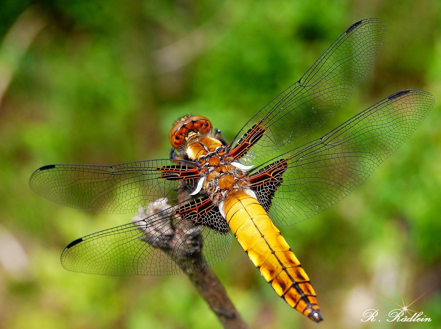 Plattbauch(Weibchen)