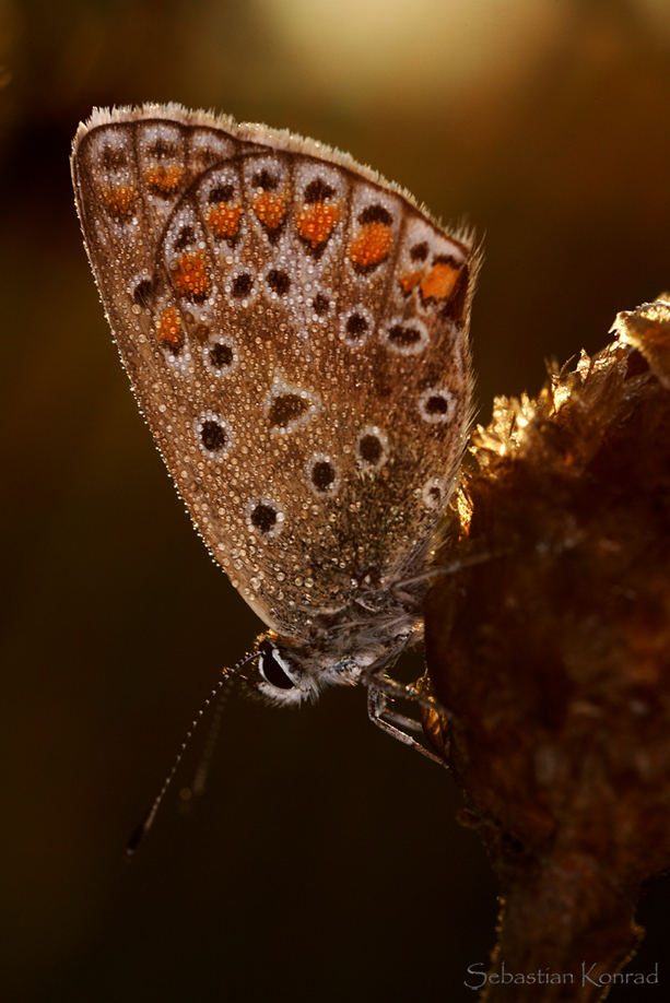 Plebeius argus - Schmetterling des Jahres 2008