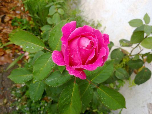 pleine de rosée pour une rose rose
